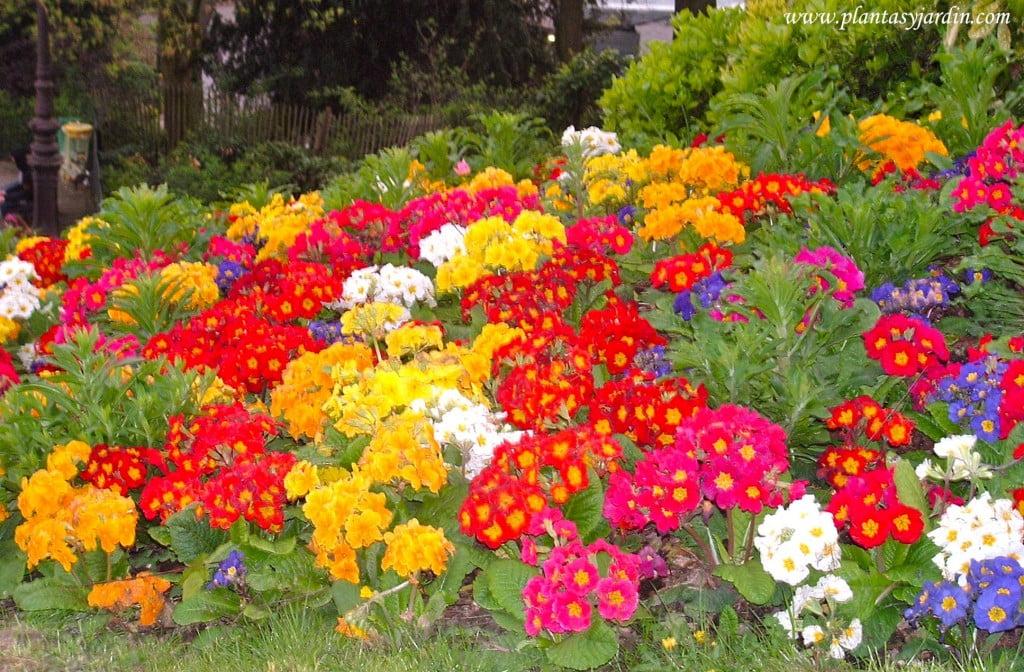 Primulas polyanthas en macizo o arriate floral.