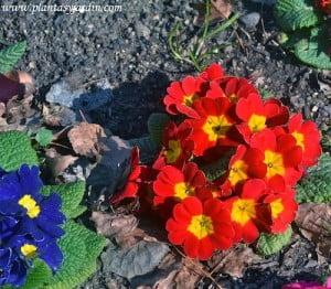 Primula vulgaris flores compuestas por 5 pétalos