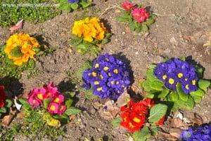Primulas vulgaris en una amplia gama de colores