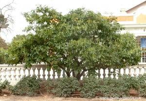 Prunus laurocerasus-Laurel cerezo-Laurocerazo.