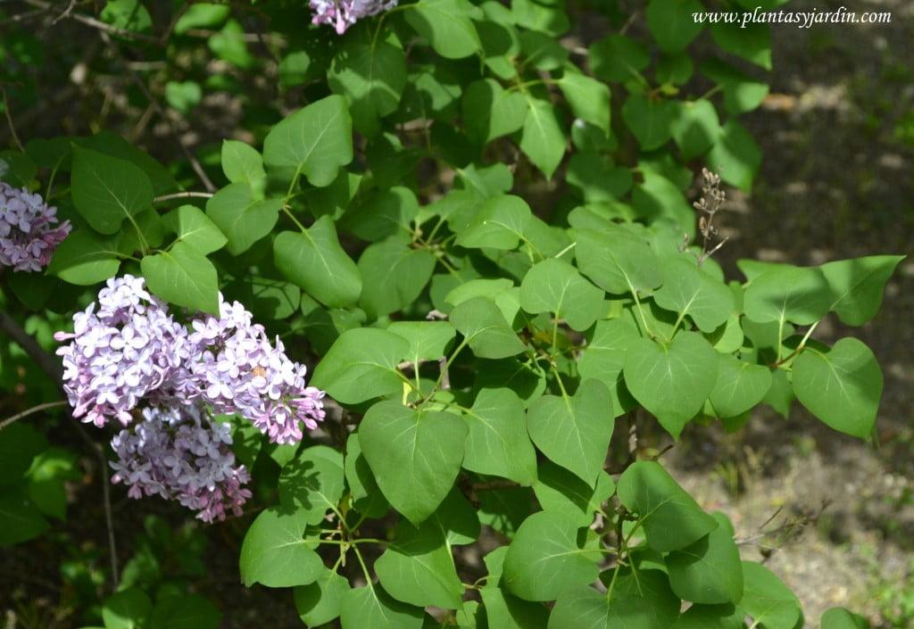 Syringa vulgaris-Lilo, detalle de follaje.