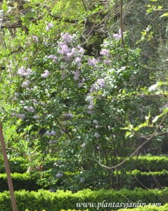 Syringa vulgaris-Lilo-Lila común en flor.