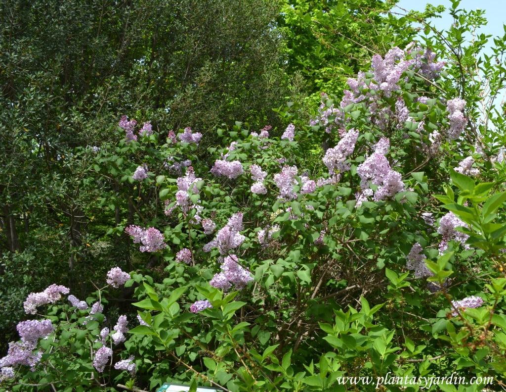 Syringa vulgaris, florecido a comienzos de la primavera.