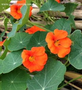 Tropaeolum majus, Taco de reina en flor en las últimas semanas de otoño
