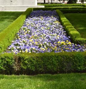 Viola tricolor cultivada en parterre, primavera en Madrid.