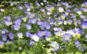 Viola tricolor, detalle.