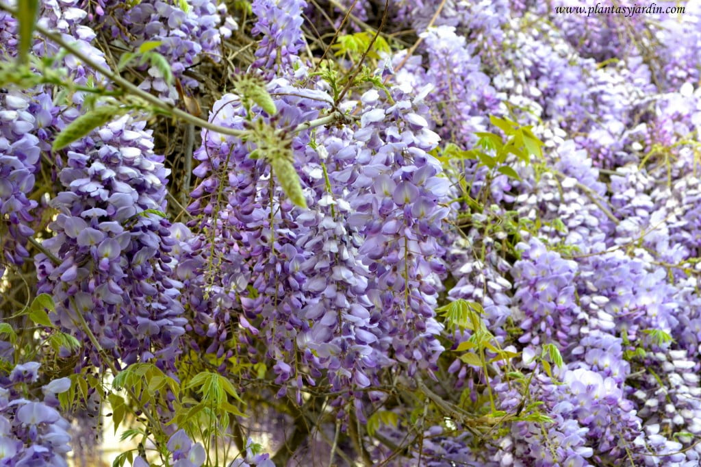 Wisteria sinensis-Glicina, detalle de flores en largos racimos.