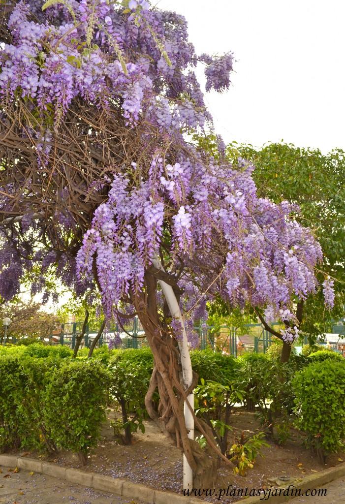 Wisteria sinensis-Glicina, detalle de sus vigorosos tallos leñosos.