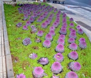 coles ornamentales cultivados como plantines de estación en invierno