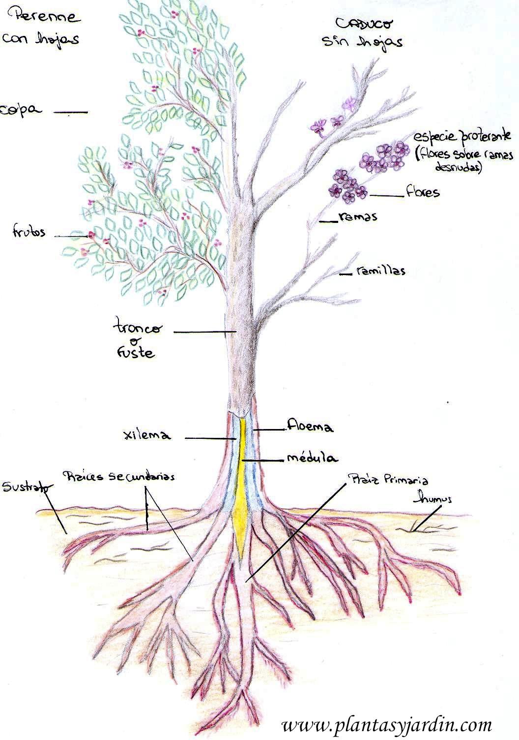 Partes del rbol plantas y jard n for Arboles con sus nombres y caracteristicas