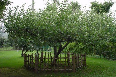 el Manzano de Newton vallado, para evitar deterioro por la afluencia de turistas