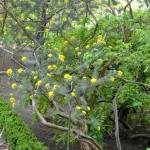 Adenocarpus decorticans detalle de tallo leñoso y hueco.