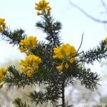 Adenocarpus decorticans, detalle flor.