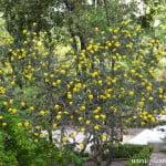 Adenocarpus decorticans florecido a comienzos de la primavera.