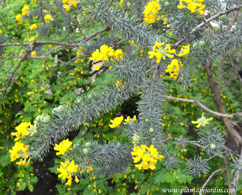 Adenocarpus decortincas, follaje & flores.