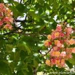 Aesculus x carnea, detalle de flores a comienzos de la primavera.