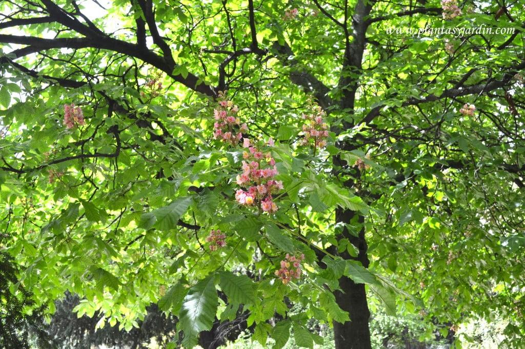 Aesculus x carnea detalle de follaje y ramas.