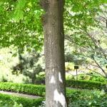 Aesculus x carnea, detalle tronco.