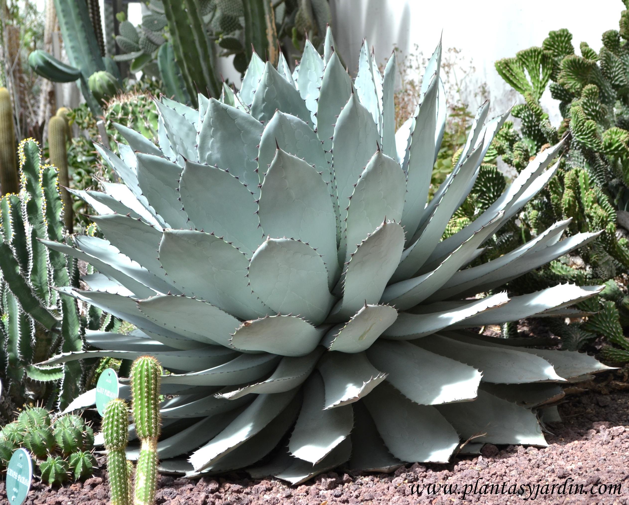 de 6000 especies de plantas crasas o suculentas, el 70% proceden de