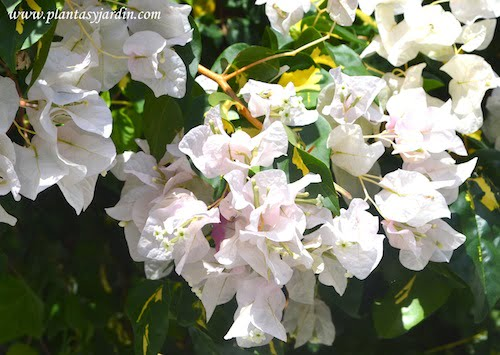 "Bougainvillea ""Snow White""."