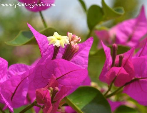 Bougainvillea detalle de sus verdaderas y pequeñitas flores amarillas.