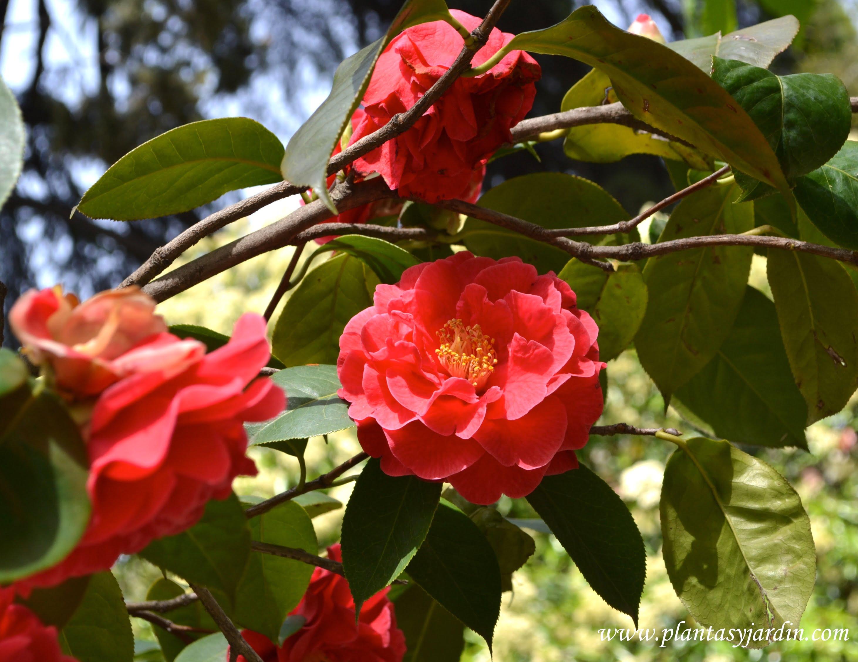 Camellia camelias plantas y jard n - Arbustos perennes con flor ...