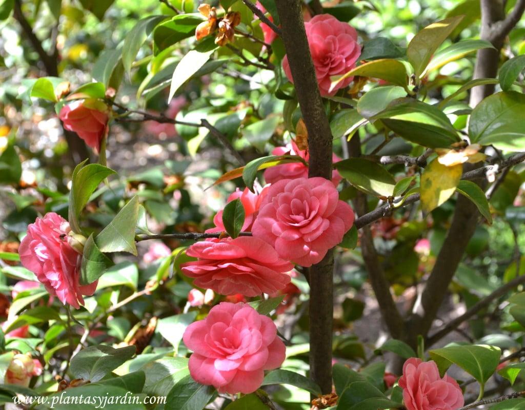 """Camelia japonica """"La Sonnanbula"""" detalle flores."""