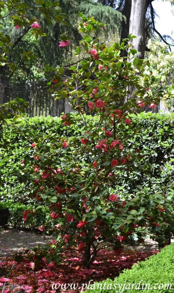"""Camelia japonica """"La Sonnanbula"""" florecido a comienzos de la primavera."""