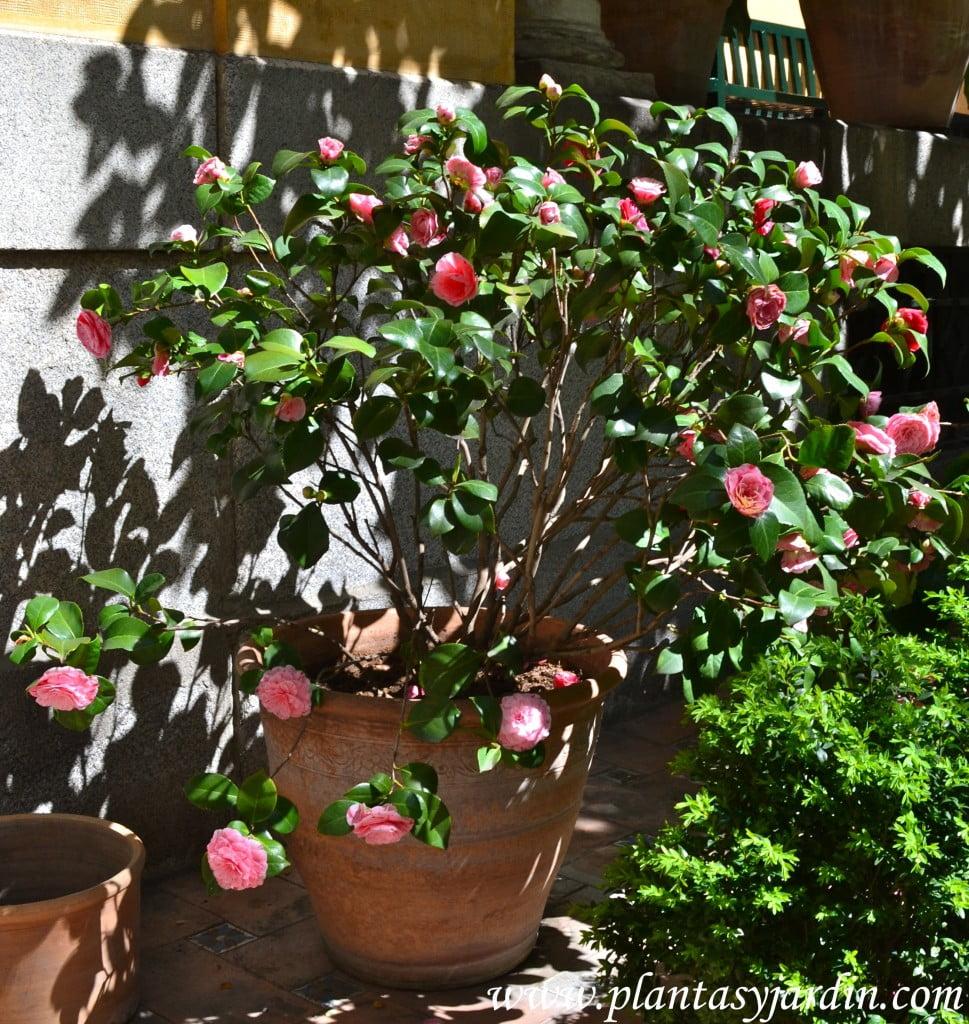 Camelia japonica, flor color rosa, florecida a ppios. de la primavera