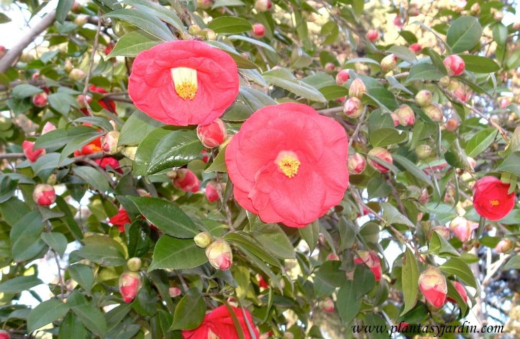 """Camellia japonica """"Adolphe Audusson"""", detalle flor."""