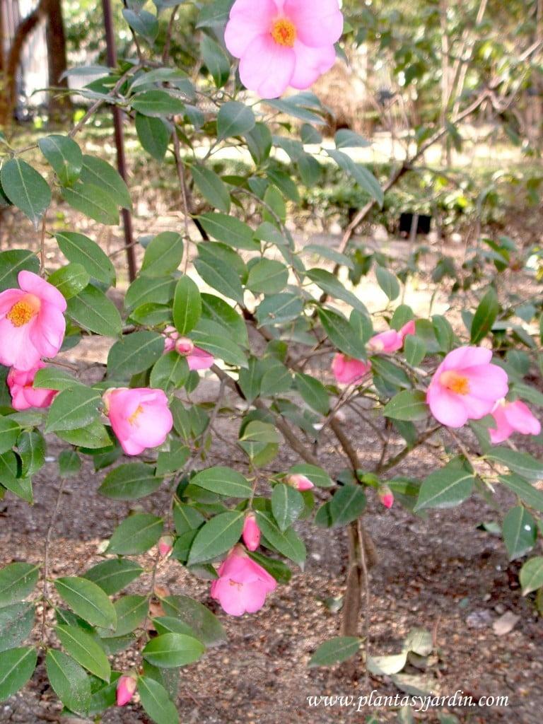 Camellia sp, flor color rosa.