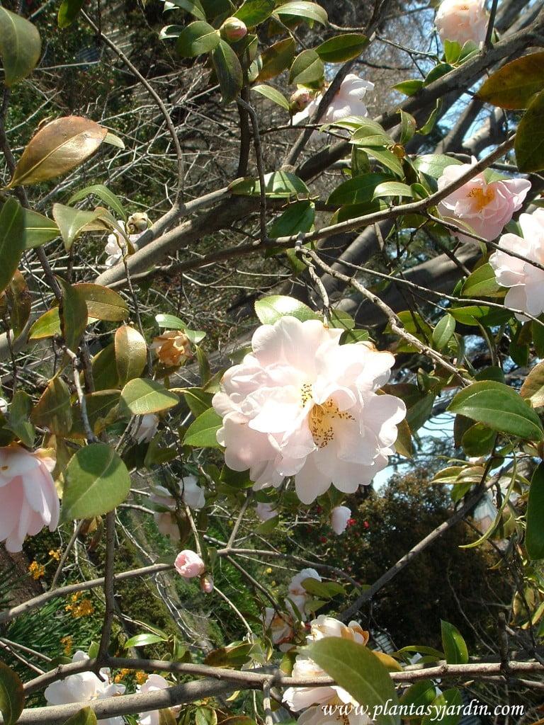 "Camellia x Williamsii ""Citation"", detalle flor."