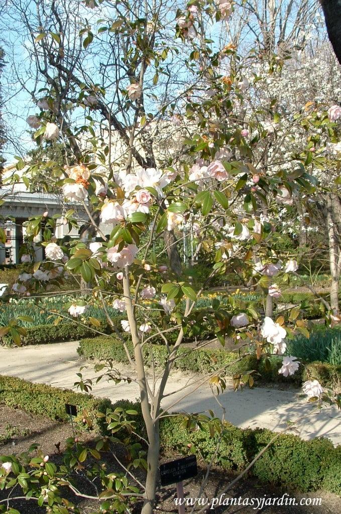 """Camellia x Williamsii """"Citation""""."""