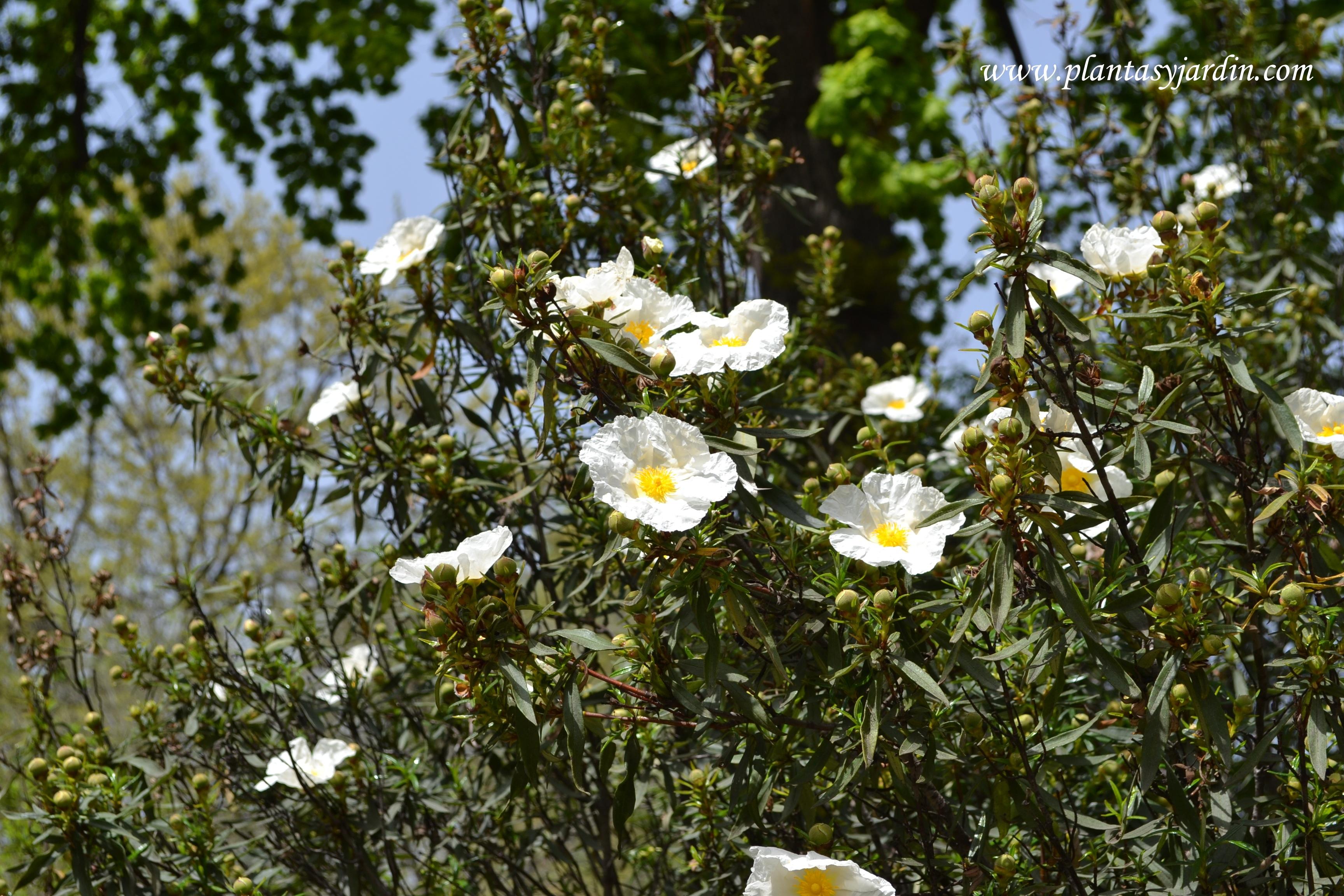 Cistus ladanifer-Jara, detalle floración, a comienzos de primavera