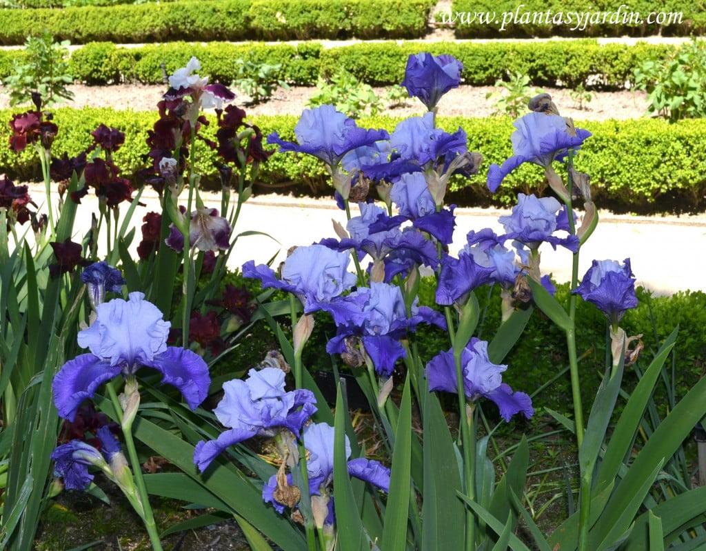 """Iris """"Proud tradition"""" florecido en primavera"""