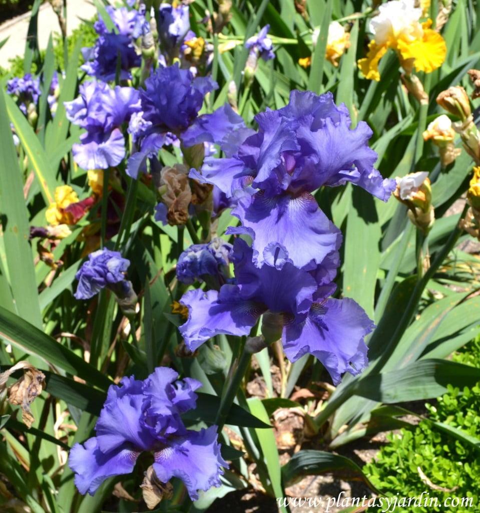 """Iris """"Tour de France"""" detalle flores."""