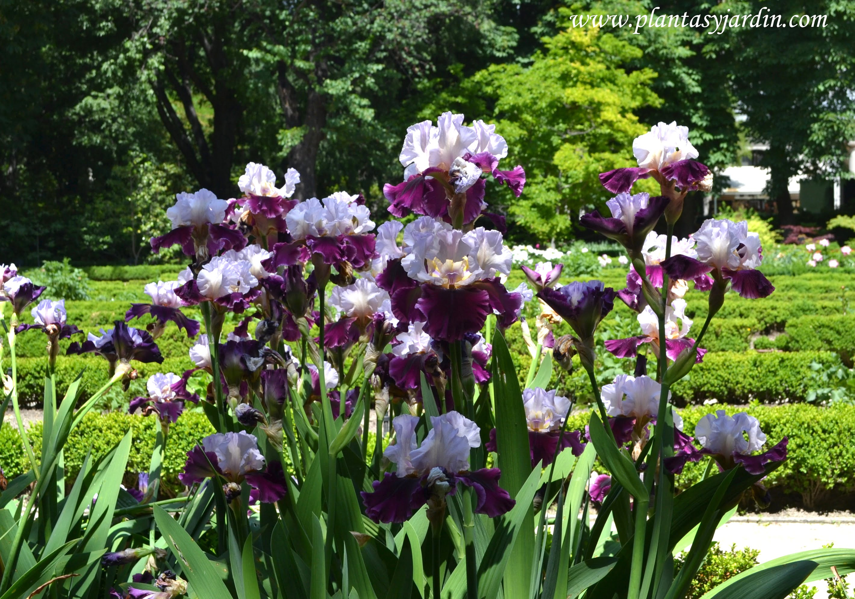 "Iris ""Wish Upon A Star"" florecido en plena primavera."