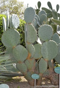 Opuntia robusta, perteneciente a la familia de las Cactáceas.
