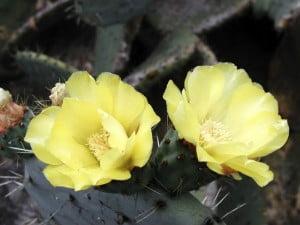 flor de la Opuntia robusta. Foto: Wikipedia.