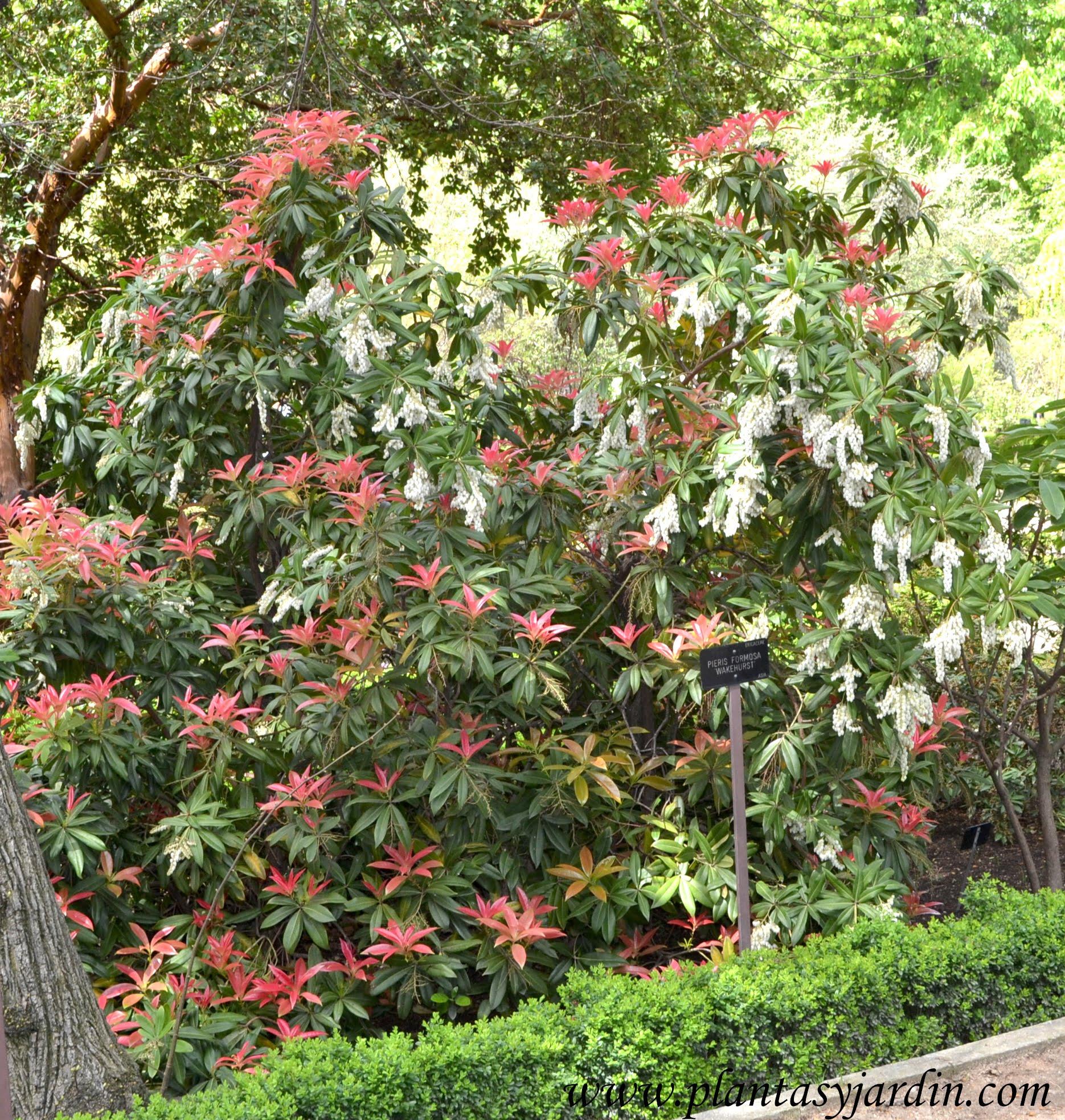 "Pieris formosa ""Wakehurst"" florecido a comienzos de primavera."