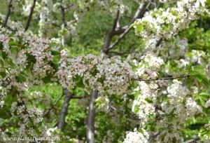 "Prunus avium-Cerezo ""Guindo"" detalle floración."
