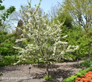 "Prunus avium- Cerezo ""Guindo"" florecido a comienzos de la primavera."