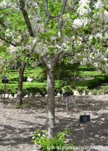 Prunus avium, detalle tronco y ramas.