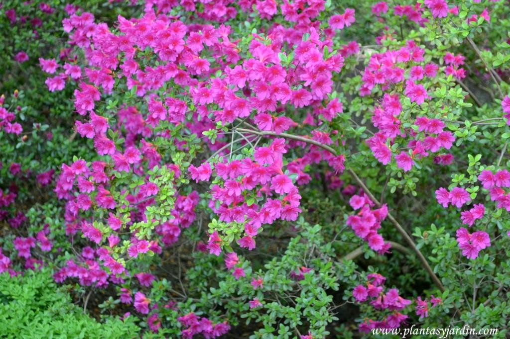 """Rhododendron """"Amoenum"""" detalle de una floración espectacular en primavera."""