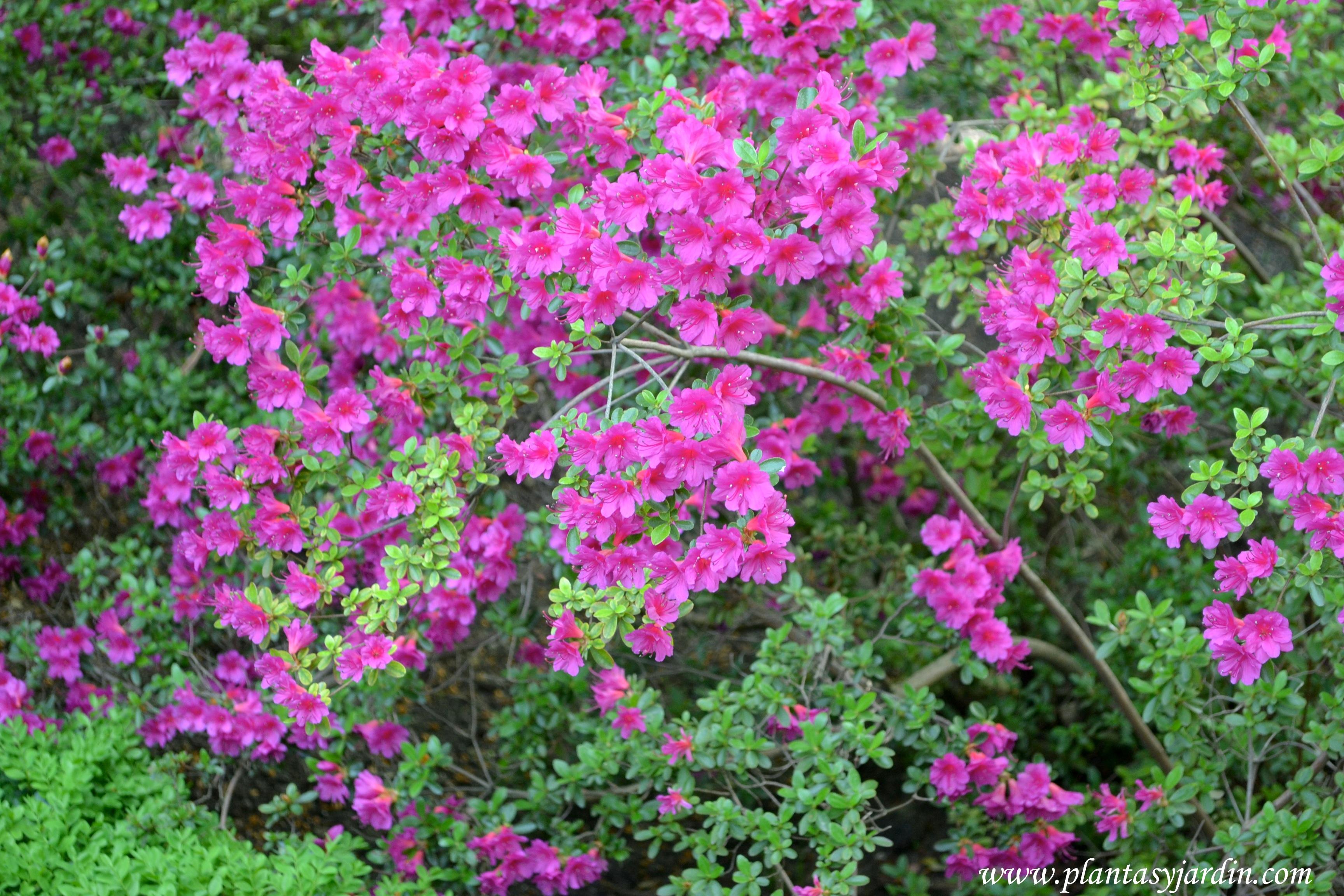 rhododendron azaleas rododendros plantas jard n