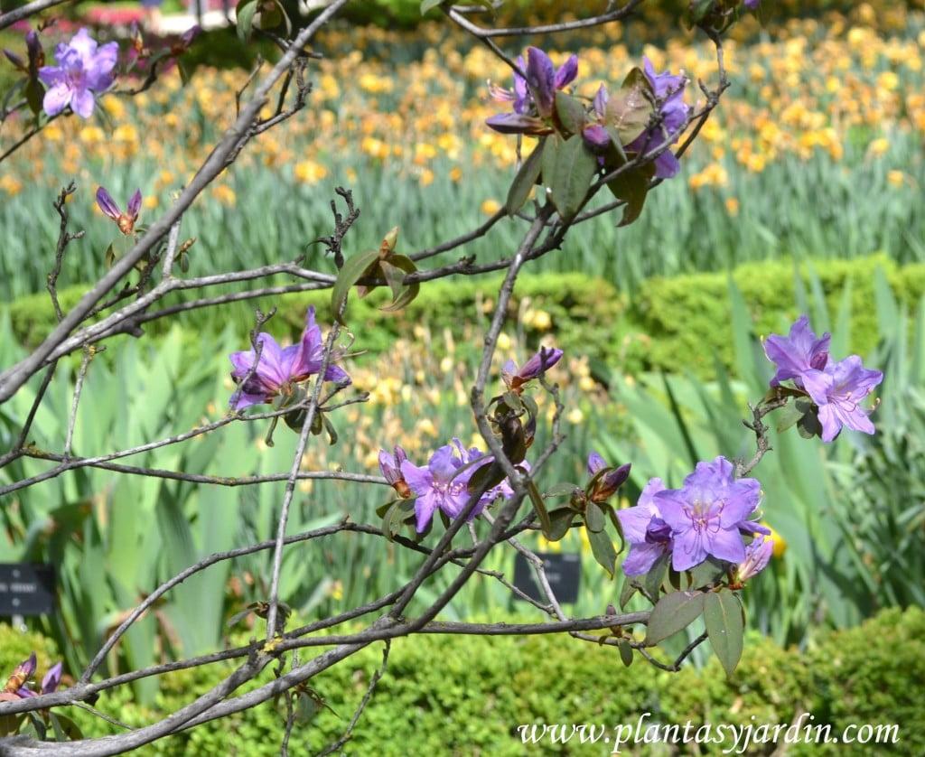 "Rhododendron ""Brazier"" florecida a comienzos de la primavera."