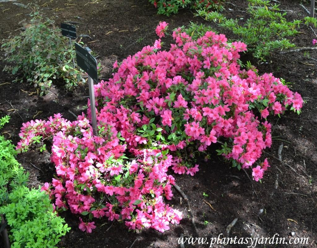 """Rhododendron Kaempferi """"Mikado"""" cultivada debajo de los árboles, florecida a comienzos de la primavera."""