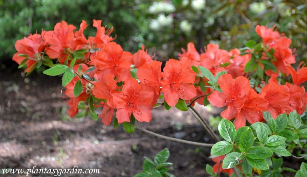 "Rhododendron ""Nordlicht"" detalle de flores."