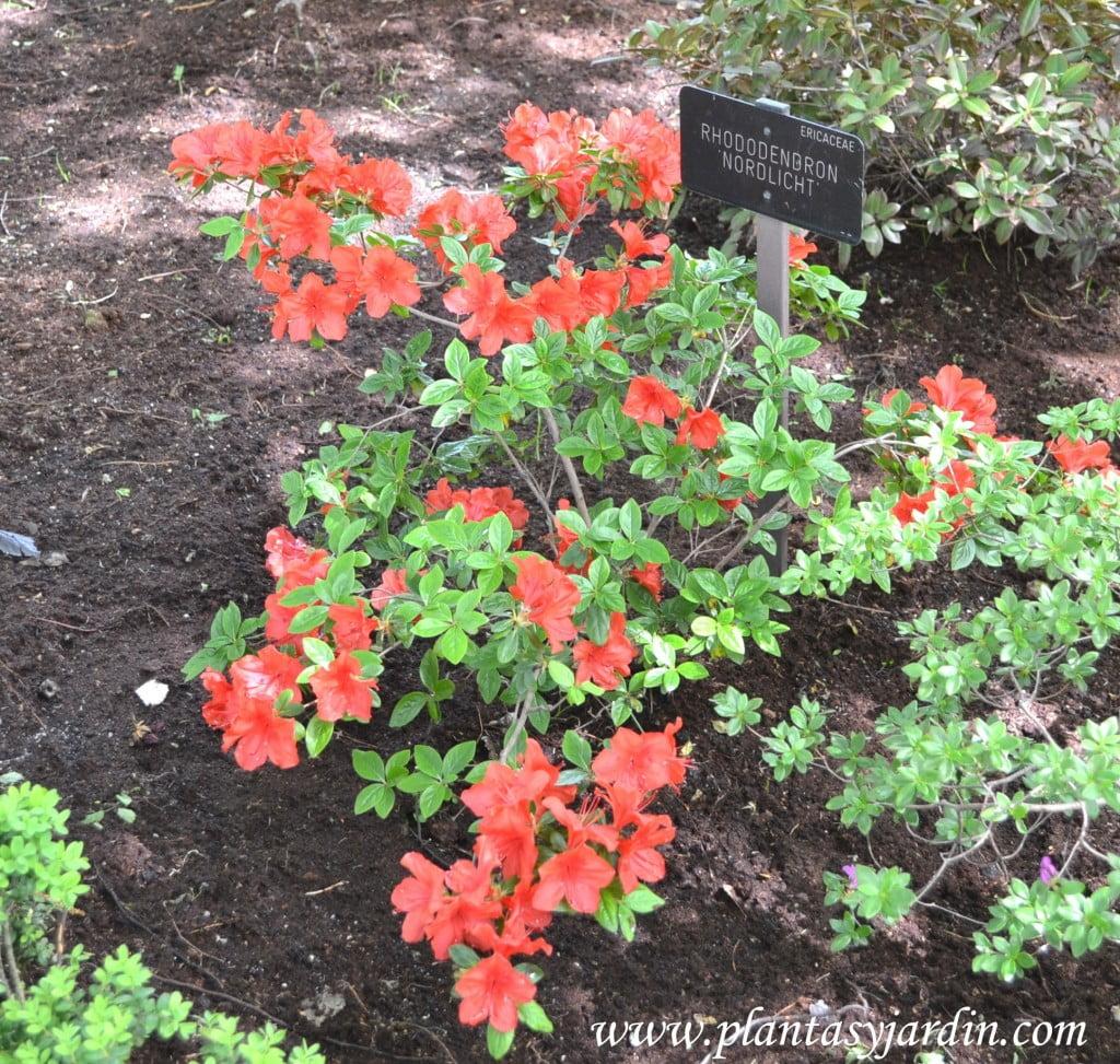 """Rhododendron """"Nordlicht""""."""