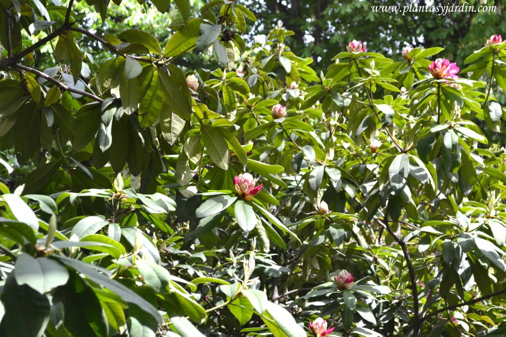 Rhododendron arboreum detalle de follaje y flores abiertas.